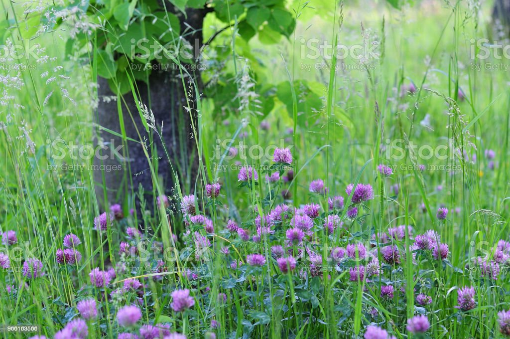clovers in meadow - Royalty-free Beauty In Nature Stock Photo