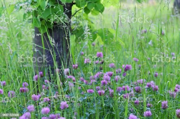 Klöver I Äng-foton och fler bilder på Blomkorg - Blomdel