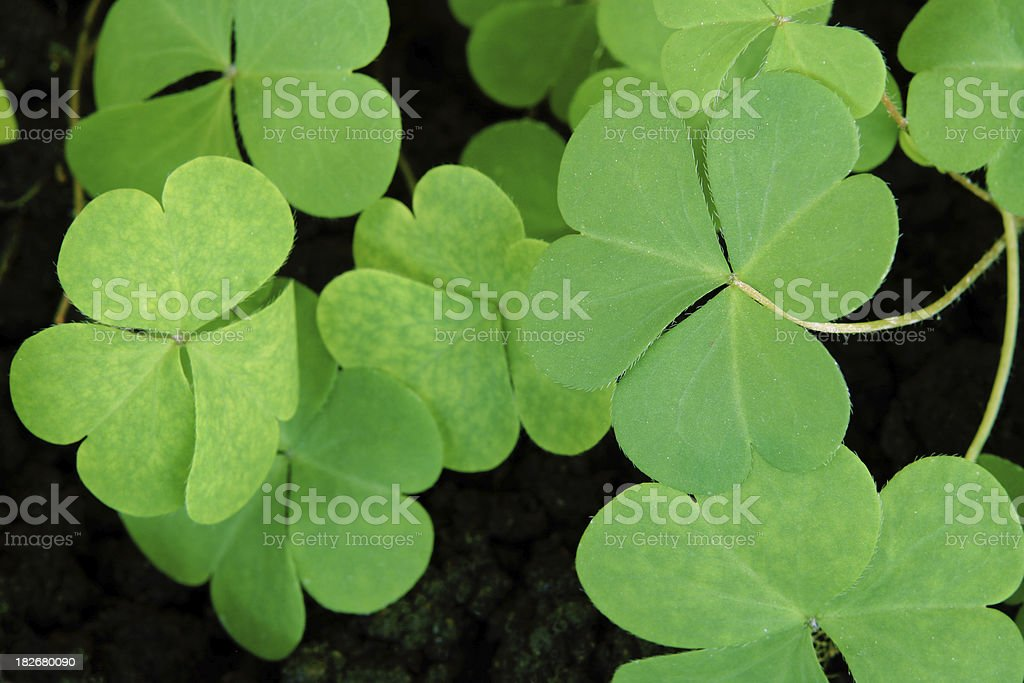 Clovers royalty-free stock photo