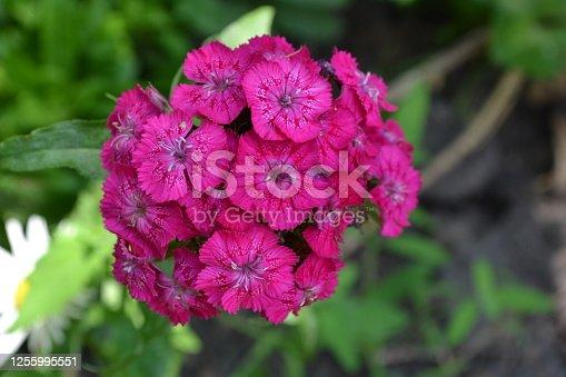 Cloves Turkish. Dianthus barbatus. Garden plants. Flower. Perennial. Close-up. Horizontal