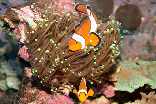 Clown Anemone Fish Clown Anemone Fish nemo museum stock pictures, royalty-free photos & images