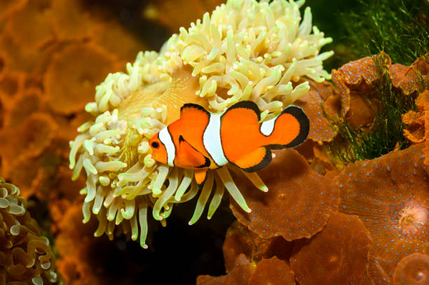 Clown Anemonefish, Amphiprion percula Clown Anemonefish, Amphiprion percula false clown fish stock pictures, royalty-free photos & images