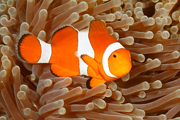 Clown Anemonefish, Amphiprion percula Clown Anemonefish, Amphiprion percula, swimming among the tentacles of its anemone home. Tulamben, Bali, Indonesia sea anemone stock pictures, royalty-free photos & images