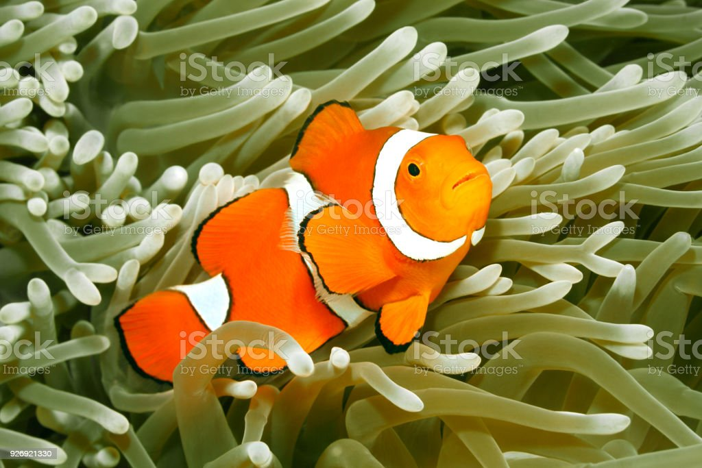 Clown Anemonefish, Amphiprion percula stock photo