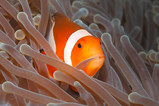 Clown Anemonefish, Amphiprion percula Clown Anemonefish, Amphiprion percula, swimming among the tentacles of its anemone home and holding an tentacle in its mouth. Tulamben, Bali, Indonesia sea anemone stock pictures, royalty-free photos & images