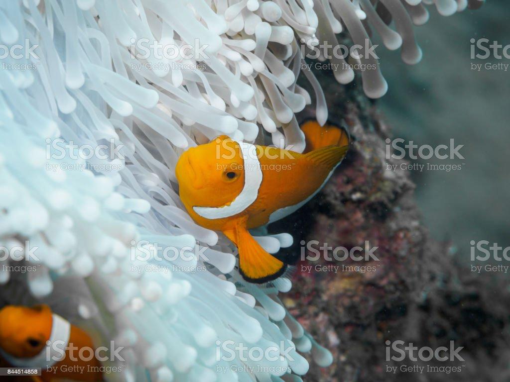 Clown anemonefish at underwater, Philippines stock photo