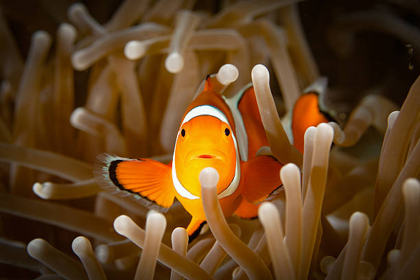 Clown anemonefish (Amphiprion ocellaris), front view, on brown anemone Clown anemonefish (Amphiprion ocellaris), Nemo, front view, on brown anemone, mouth slightly open. Horizontal underwater macro photography taken in Amed, Bali, Indonesia. false clown fish stock pictures, royalty-free photos & images