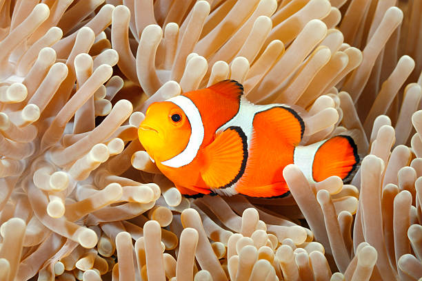 Clown Anemonefish Clown Anemonefish, Amphiprion percula, swimming among the tentacles of its anemone home. Tulamben, Bali, Indonesia anemonefish stock pictures, royalty-free photos & images