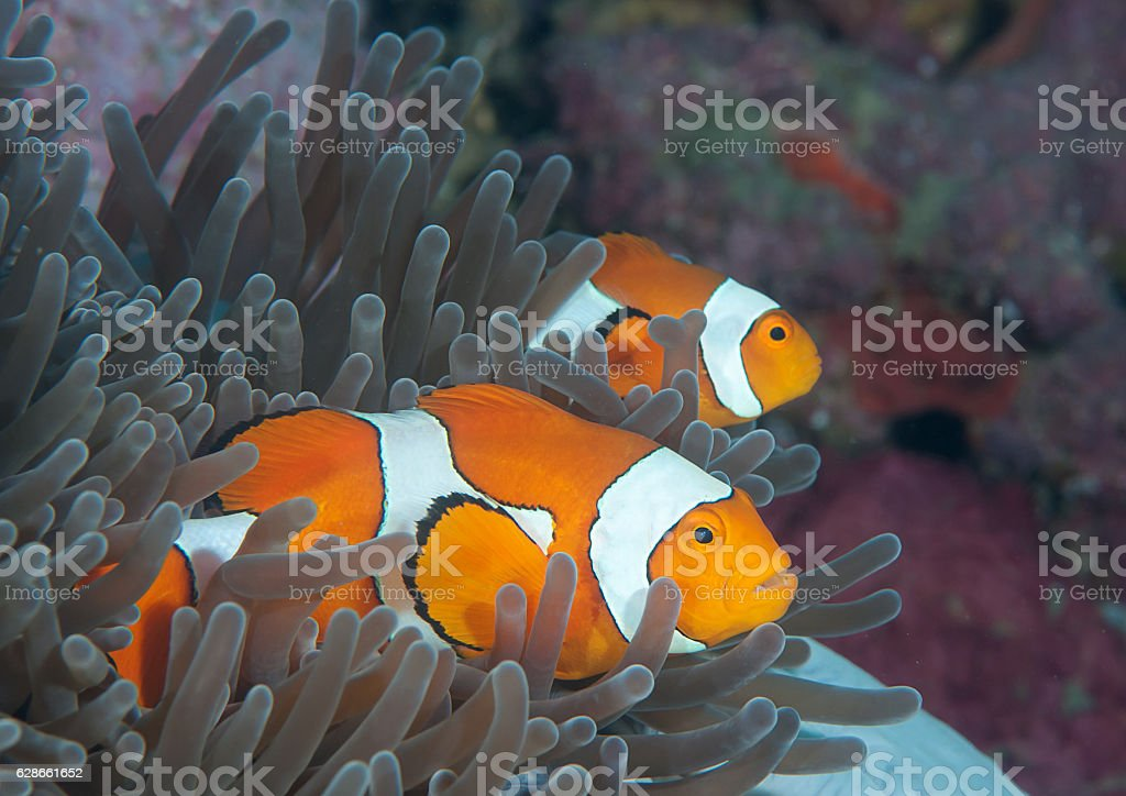 Clown Anemonefish (Amphiprion ocellaris) stock photo