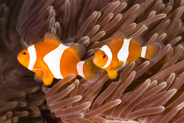 Clown Anemonefish (Amphiprion ocellaris) Couple of Clown Anemonefish (Amphiprion ocellaris) in the sea anemone false clown fish stock pictures, royalty-free photos & images