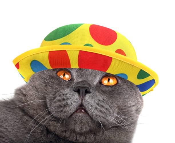 Clown cat portrait picture id920882728?b=1&k=6&m=920882728&s=612x612&w=0&h=6choannaupicliuffte6hk pk49lt2rr8kpxzsuukti=