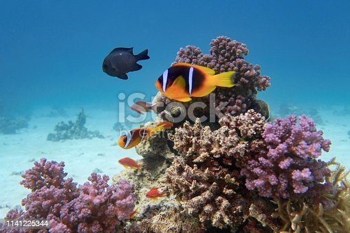 Clown fish - Amphiprion bicinctus - Two-banded anemonefish. Red Sea