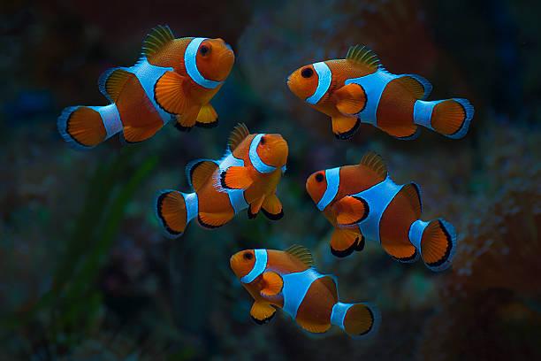 clown fish amphiprion ocellarisin - organismo aquático - fotografias e filmes do acervo