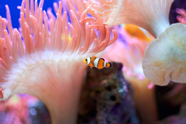 Clown Fish and Anemone Clownfish and anemone anemonefish stock pictures, royalty-free photos & images