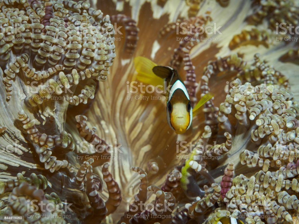Clown fish at underwater stock photo