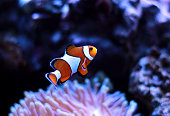 Clown fish enjoy in magnifica anemone