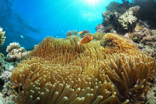 clown fish enjoying the sun (amphiprion perideraion) - great barrier reef stock pictures, royalty-free photos & images