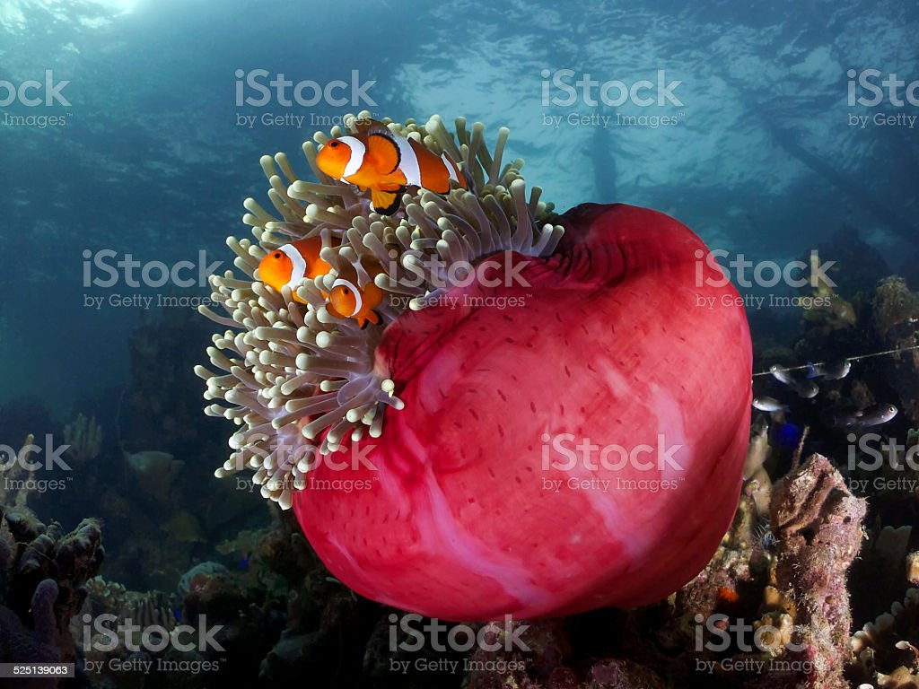 Clown Fish Family on Their Little Red Sea Anemone home stock photo