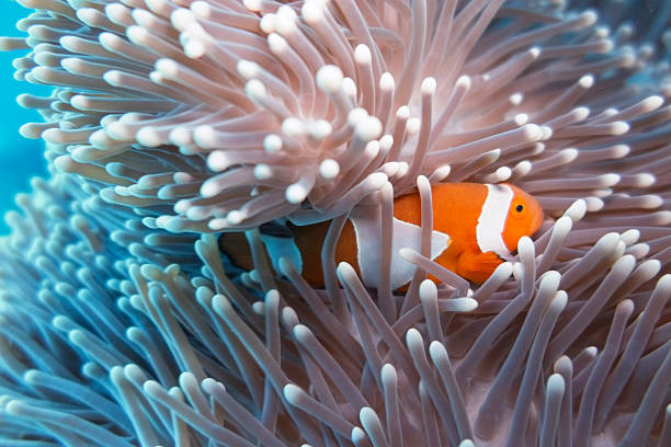 Clown Fish hiding in Anemone Sealife in Sipadan, Malaysia symbiotic relationship stock pictures, royalty-free photos & images