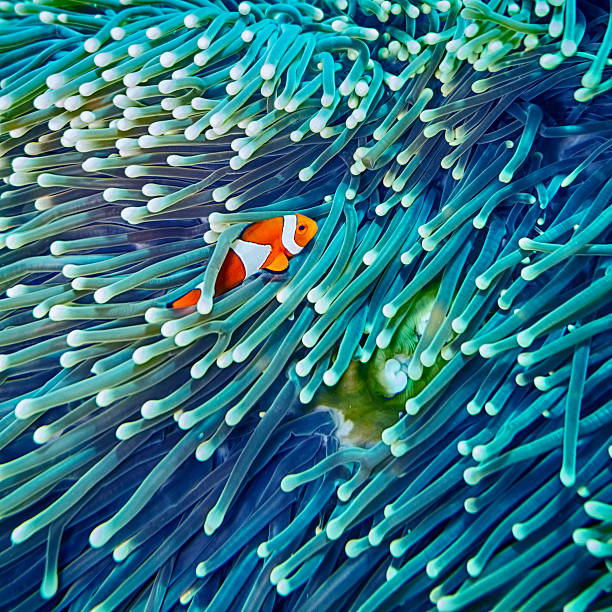 Clown Fish hiding in Anemone Sealife in Sipadan, Malaysia anemonefish stock pictures, royalty-free photos & images