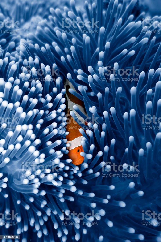 Clown Fish hiding in Anemone, Sealife in Sipadan, Malaysia stock photo