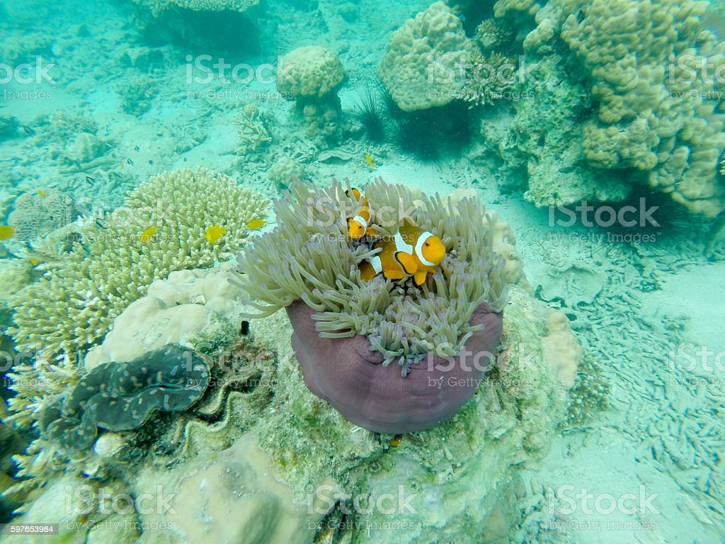 Clown fish in a sea anemone stock photo