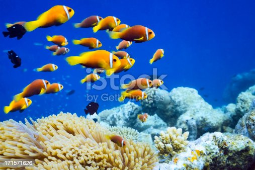 wildlife clown fish in anemone on maledivesAmphiprion nigripes, also known as the Blackfinned anemonefish or Maldives anemonefish is characterized by its rusty, orange color with a single white stripe running vertically just behind the eye