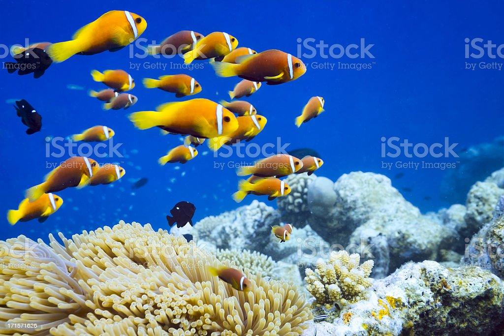 Clown fish in Anemone stock photo