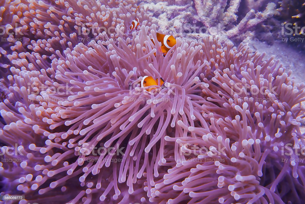 Clown fish in anemone stock photo