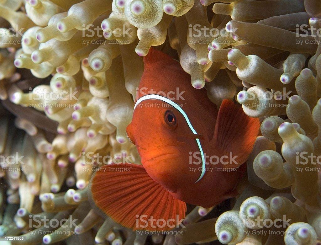 Clown fish in Papua New Guinea stock photo
