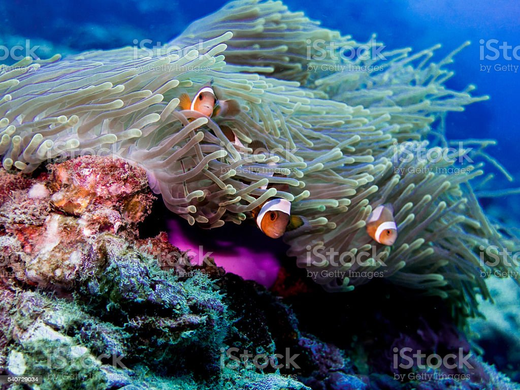 Clown Fish (Amphiprion ocellaris) in Sea Anemone stock photo