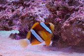 a cute ocean fish in the aquarium . clown fish ( amphiprioninae from pasific oceon )