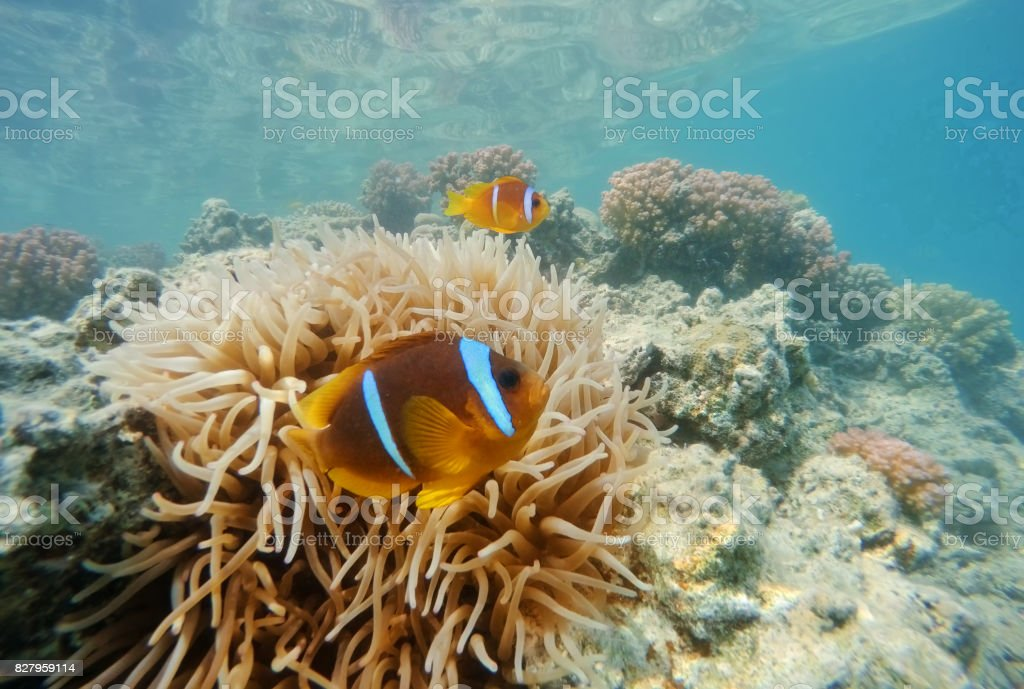clown fish near sea anemone, Red sea, marsa Alam, Egypt stock photo