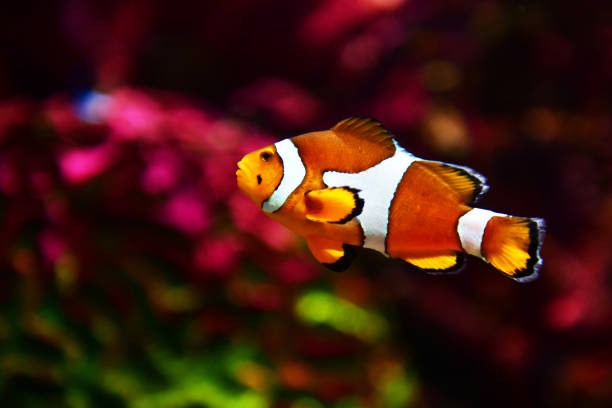 Clown fish or anemone fish Clown fish or anemone fish at underwater apothegm stock pictures, royalty-free photos & images