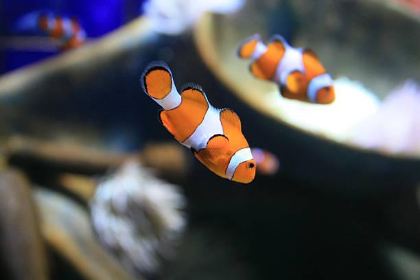 clown fish - pictafolio stock-fotos und bilder