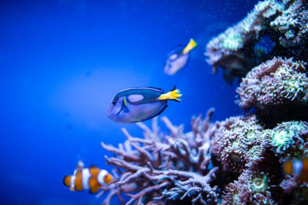 pez payaso - pbsm fotografías e imágenes de stock