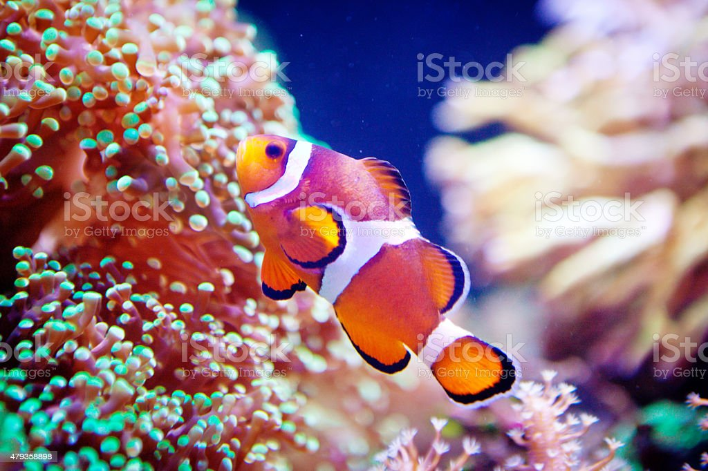 Clown Fish Swimming Among Coral Reef Underwater And Closeup Stock ...