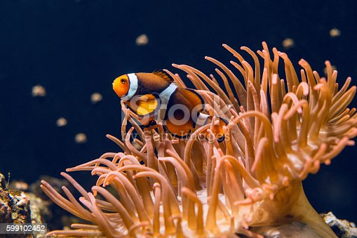 Clown fish swimming by coral