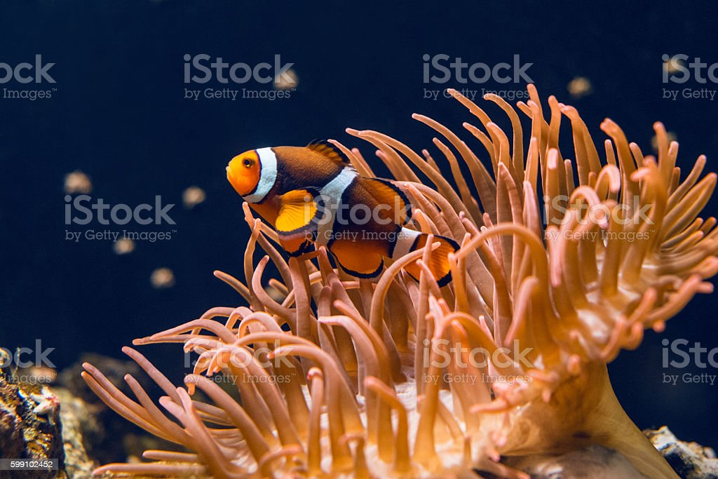 Clown fish swimming stock photo