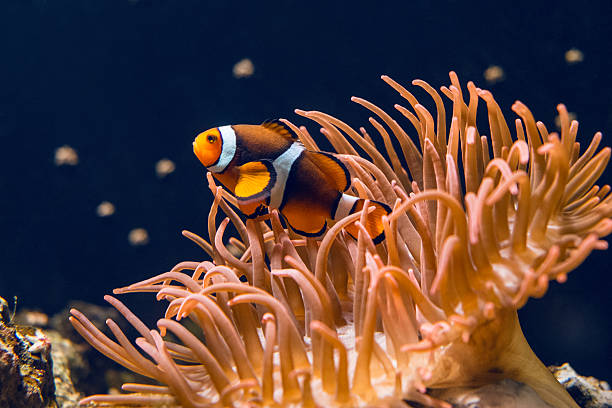 Clown fish swimming Clown fish swimming by coral anemonefish stock pictures, royalty-free photos & images