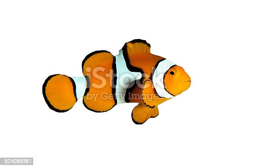 Isolated clown fish on white background with white stripes and black stripes.