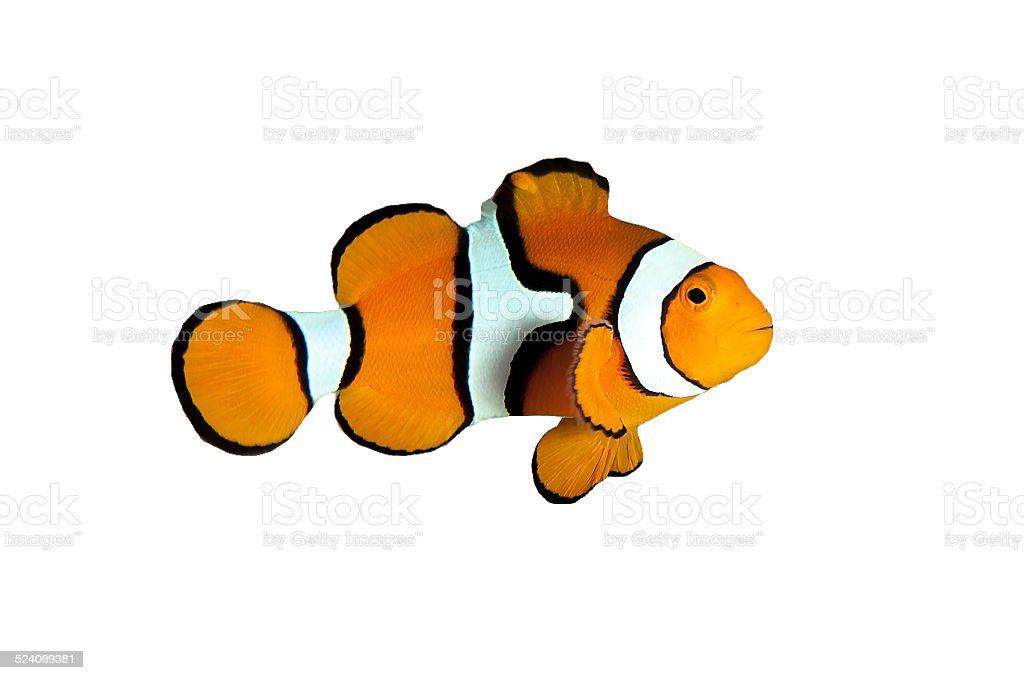 Clown fish with White and Black Stripes on White Background stock photo