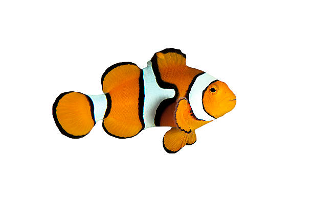 Clown fish with White and Black Stripes on White Background Isolated clown fish on white background with white stripes and black stripes. anemonefish stock pictures, royalty-free photos & images
