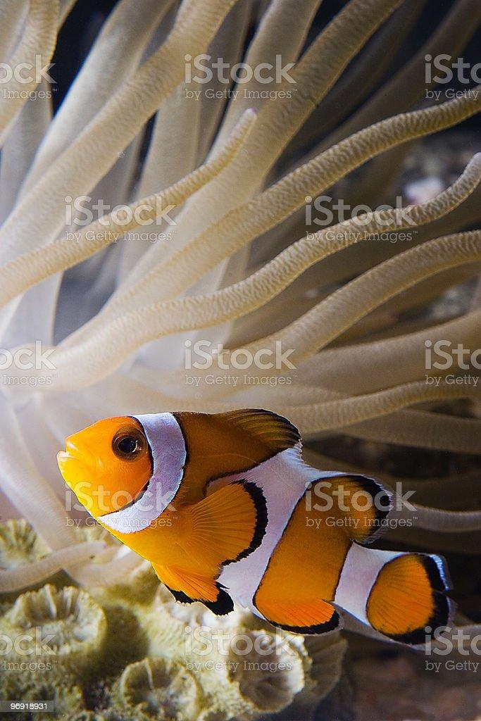 Clown Fish2 royalty-free stock photo
