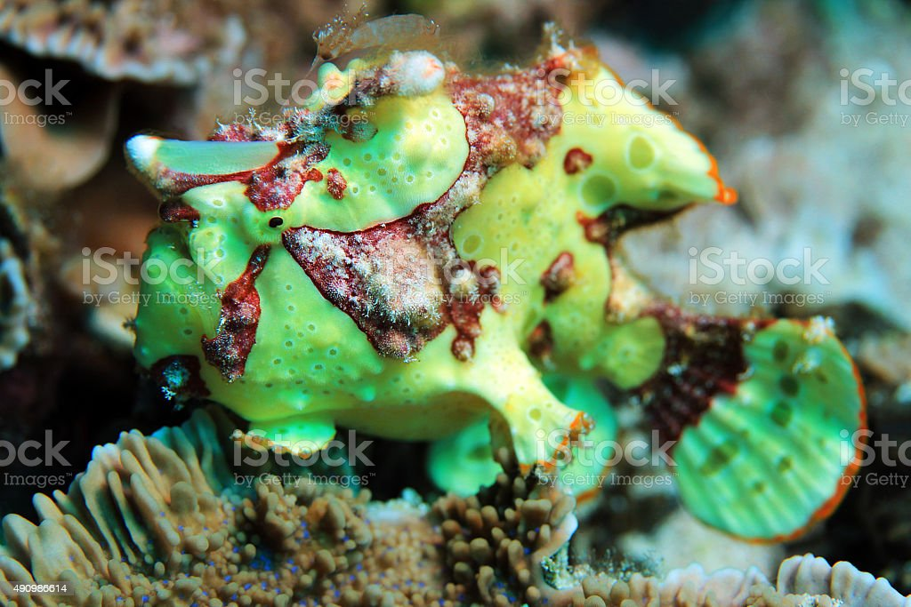 Clown Frogfish stock photo
