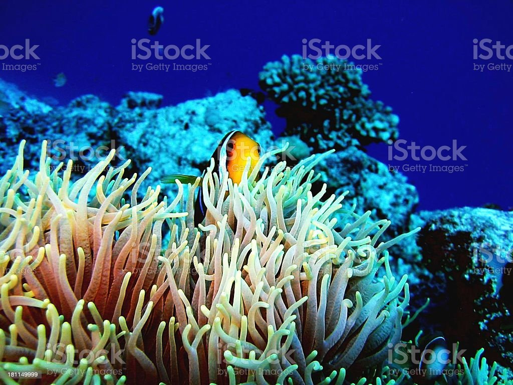 Clown in Exotic Anemonie royalty-free stock photo