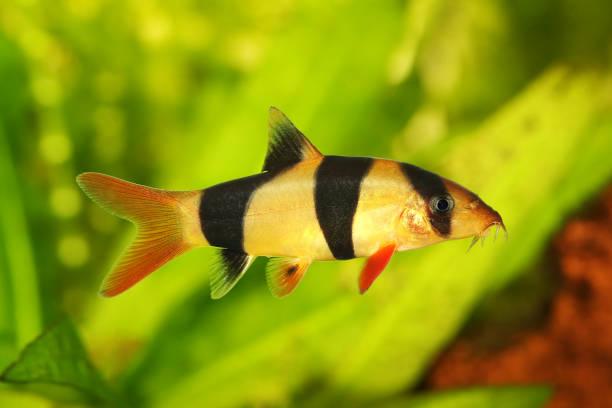 Clown loach tiger botia aquarium fish catfish botia macracanthus picture id1143074116?b=1&k=6&m=1143074116&s=612x612&w=0&h=j7esmkq0zggy7fwos3760w9jgclwu8d52f9rs0f3w9a=