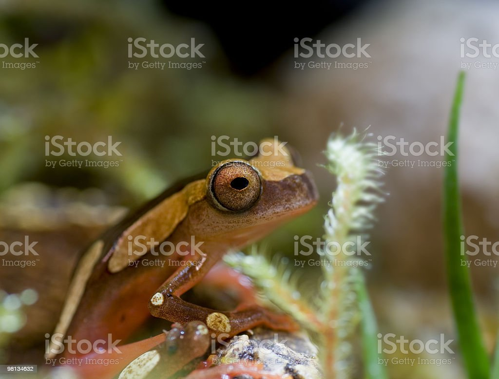 Clown Tree Frog royalty-free stock photo