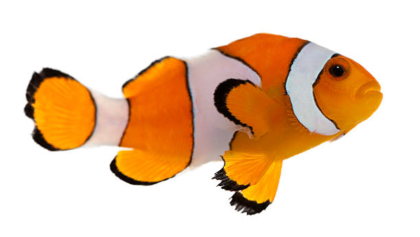 Clownfish, Amphiprion ocellaris, in front of white background Clownfish, Amphiprion ocellaris, in front of white background false clown fish stock pictures, royalty-free photos & images