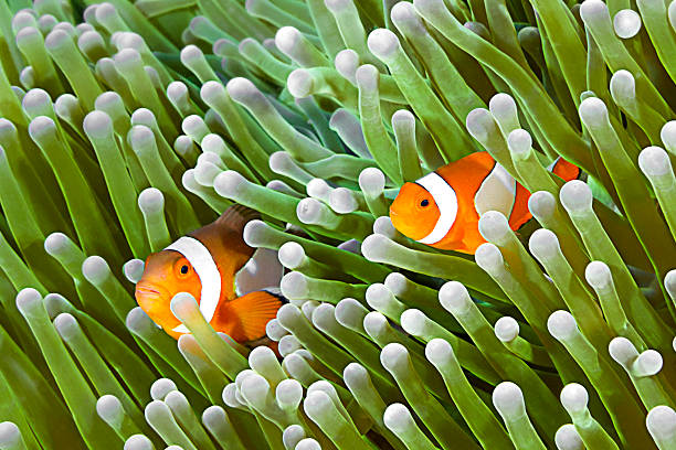 Clownfish, Amphiprion ocellaris, Clownfish family, Amphiprion ocellaris, hiding in host sea anemone Heteractis magnifica.  symbiotic relationship stock pictures, royalty-free photos & images